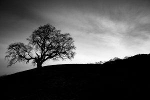 Chêne de Venon