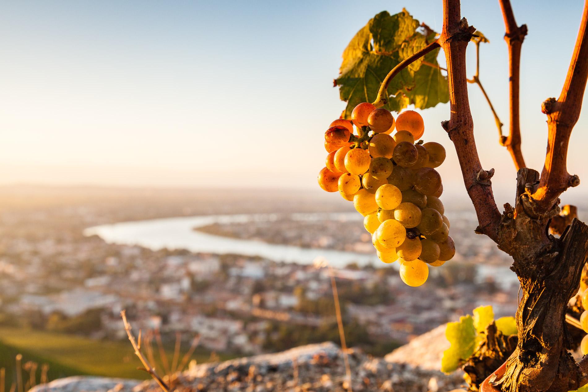 Grappe de raisins du célèbre vignoble de Tain l'Hermitage (Drôme)